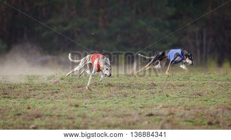 Coursing, Passion And Speed. Hortaya Borzaya Dogs Running