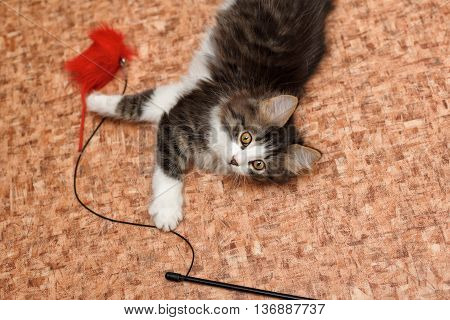 Cute little kitten and toys on the floor. Pet.