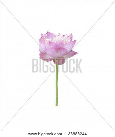 Lotus buds Lotus flower and Lotus flower plants.