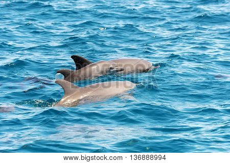 Dolphins Jumping Over Sea Waves