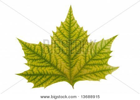 Maple Leaf With Hand Made Clipping Path