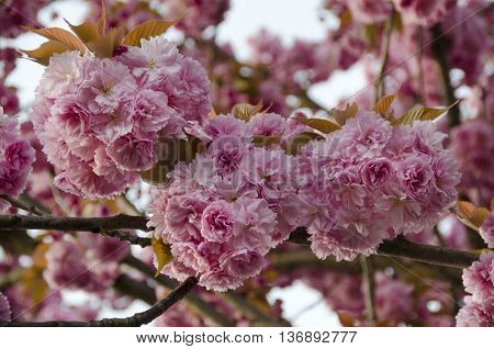Foto of blossoms in spring of japanese tree