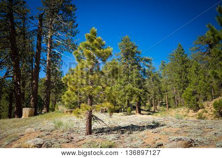 Small Pine In Mountain Meadow
