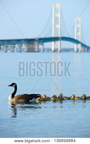 Duck with ducklings with Mackinac suspension bridge at background, built in 1957, Michigan, USA