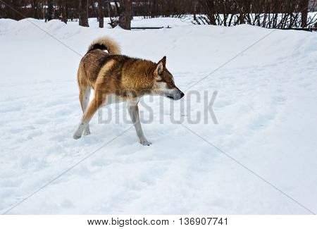 Red-haired stray dog on the snowy street.