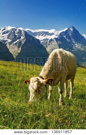 Cow in idyllic alpine landscape, Alps mountains  and countryside in summer, Switzerland