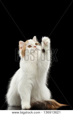 Playful Scottish Highland Straight Cat, White with Red Color of Fur, Sitting and Raising up paw, Isolated Black Background