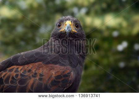 Harris's hawk (Parabuteo unicinctus) frontal portrait of the bird of prey against a blurry forest background