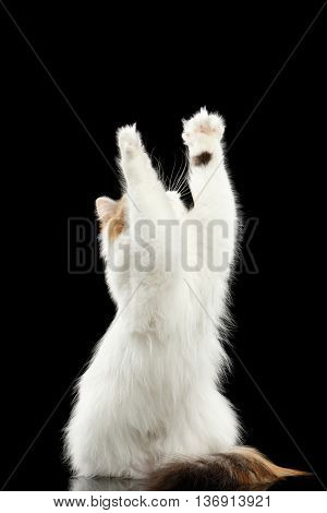 Playful Scottish Highland Straight Cat, White with Red Color of Fur, Catching and Raising up paws, Hunting, Isolated Black Background