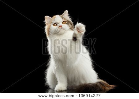 Funny Scottish Highland Straight Cat, White with Red Color of Fur, Raising up paw and Looking in Camera, Isolated Black Background, Looks Hello