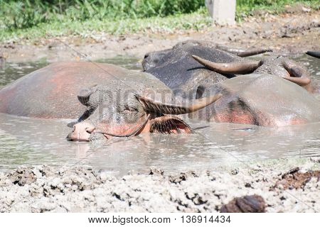 Buffalo Relaxes In A Mud.
