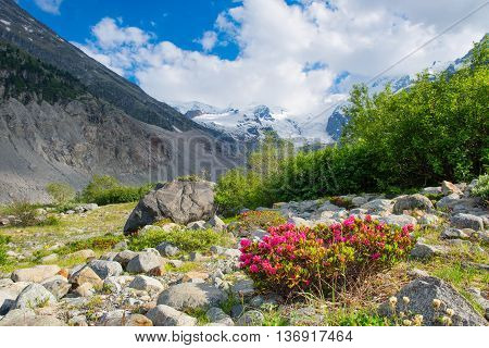 Rhododendrons Under Mountains Of Glaciers In The Alps