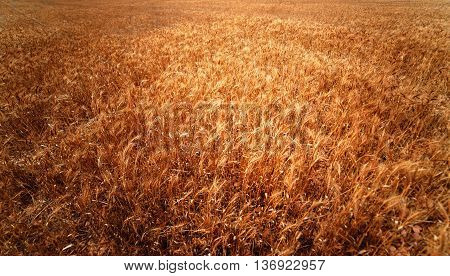 Golden wheat field. Meadow wheat field close up. Rich harvest Concept. Rye