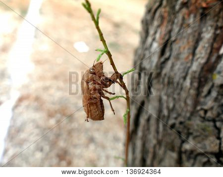 Husk Of Cicada On Branch