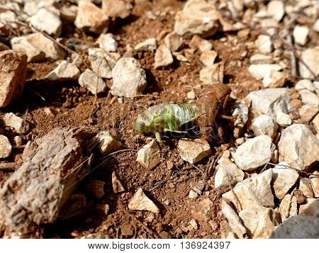 Cicada Crawling Out Of Husk, Molting Cicada