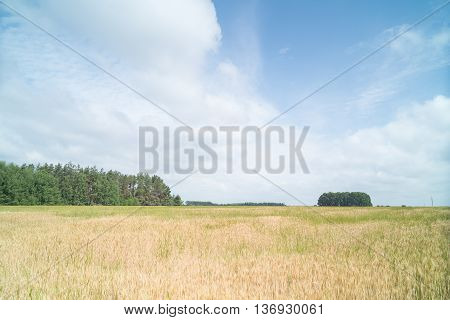 Landscape. Wheat field. Wheat matures on farmlands.