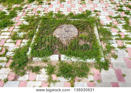 The stump of a large and old tree on the background of green grass. Around a pavement of white and pink stone.