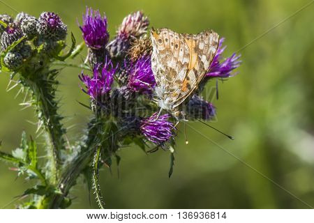 A cosmopolitan butterfly is sitting on a thistle