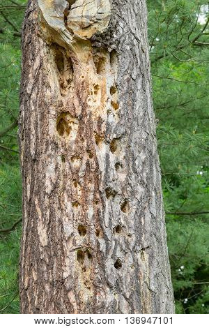 Holes drilled in pine tree trunk by woodpecker.