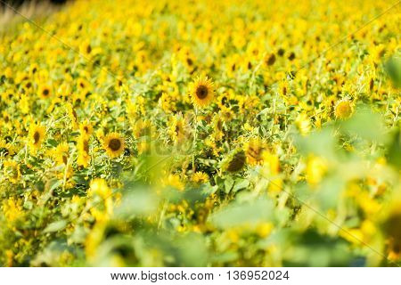 Sunflowers' field in a sunny day, Luxembourg.