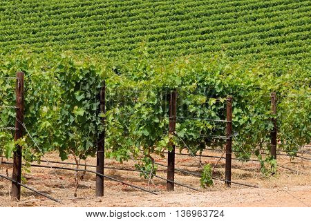Landscape of a lush green vineyard, Cape Town area, South Africa
