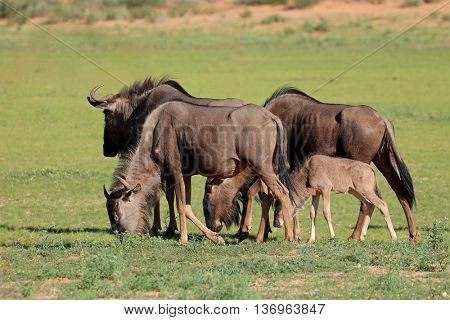 Small group of blue wildebeest (Connochaetes taurinus) grazing, Kalahari, South Africa