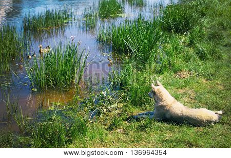 dog hunting for duck with ducklings. white dog lying on the shore and watching the ducks that swim in a pond