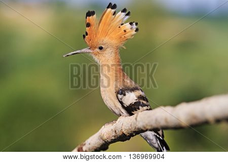 Fairy tufted bird sitting on a branch, summer, green background, hoope