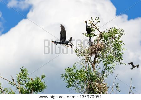 Cormorant nests in a tree in Danube Delta