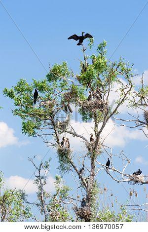 Cormorant nests in tree in Danube Delta