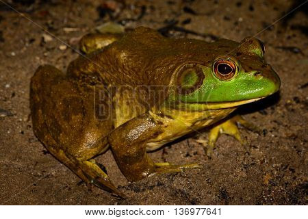 American bullfrog (Lithobates catesbeianus) full profile with vivid eyes - male