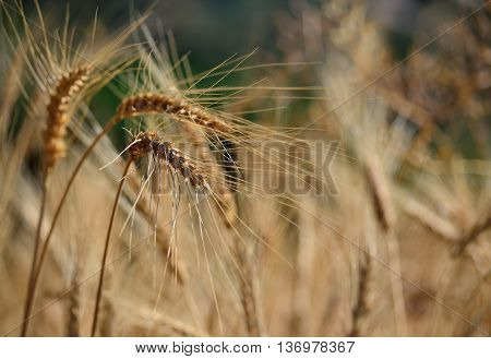 Wheat spikes isolated in foreground with unfocused background, early summer