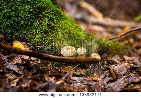 Wild mushrooms Bovista plumbea in autumn forest