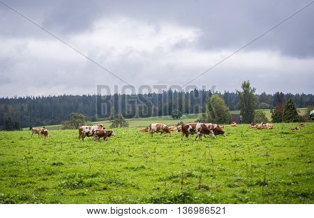 Cows in Bavaria Germany on green pasture field