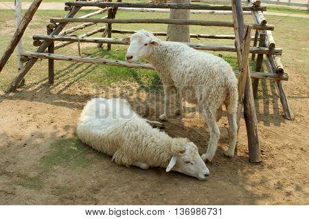 Sheep farm in Hua Hin, Southern Thailand