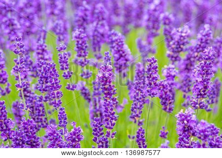 Beautiful lavender meadow close up in the summer