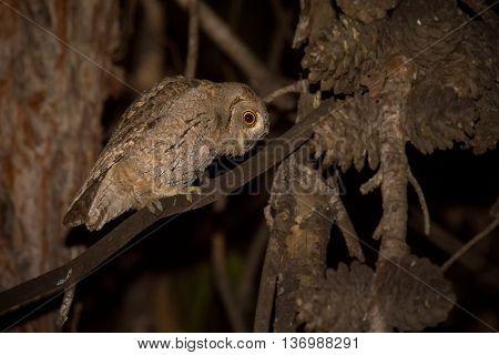 Eurasian Scops Owl (Otus scops) sitting on pearch