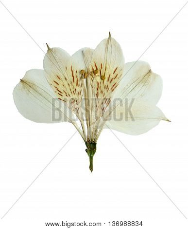 Pressed and dried flower alstroemeria. Isolated on white background. For use in scrapbooking floristry (oshibana) or herbarium.