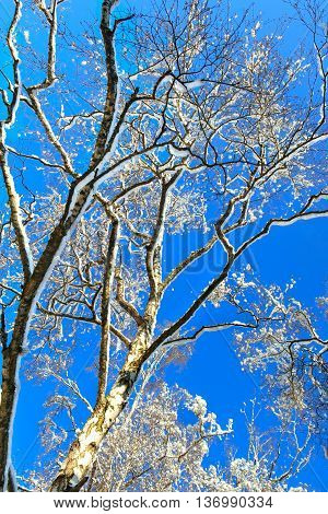 Snow covered trees under blue skies background