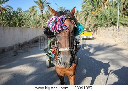 TUNIS TUNISIA - SEPTEMBER 16 2012 : A front view of a horse pulling a tourist carriage in the street of Tozeur Tunisia.