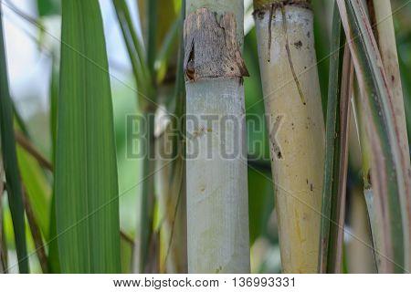 Close up fresh sugarcane in garden in Thailand