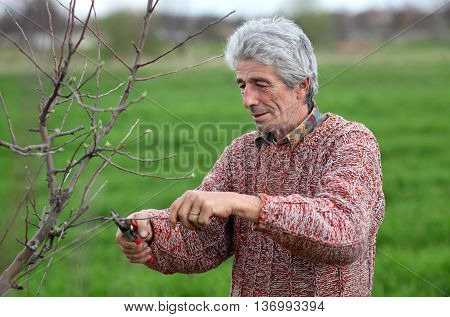 Senior adult man pruning tree in orchard selective focus on face
