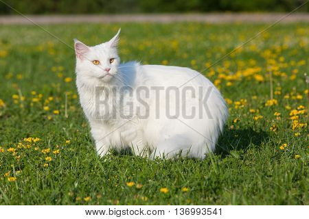 white maine coon cat female seats on grass