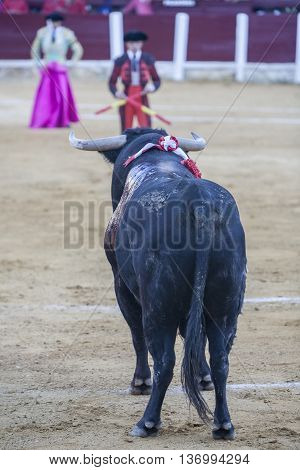Ubeda SPAIN - September 29 2010: Capture of the figure of a brave bull of hair black color in a bullfight Spain