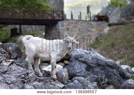Young white goat on stones in evening