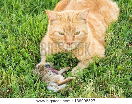Ginger tabby cat with a young cottontail rabbit he caught, partially eaten