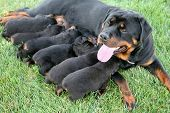 image of puppies mother dog  - a pure - JPG