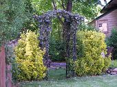 stock photo of english ivy  - arbor with ivy  - JPG