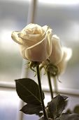 image of white roses  - white rose on window - JPG