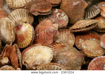 Mid-Sized Scallops On Market Display